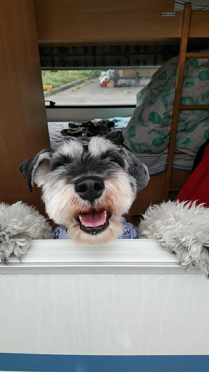 FamilyHall-WITH(ファミリーホールウィズ)の看板犬ミニチュアシュナウザーのユウタ君